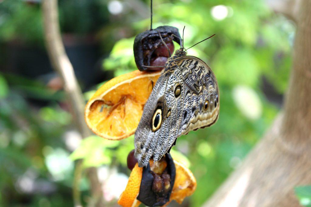 tennessee aquarium butterflies